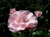 kvetiny17
