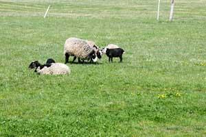 ovce-s-jehnaty