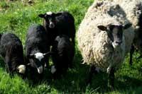 ovce-romanovska
